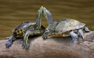 Черепахи: как спариваются, правильное размножение в домашних условиях