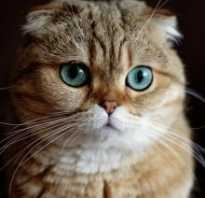 Шотландская вислоухая кошка фото голубая описание