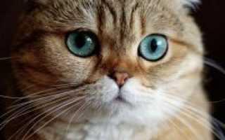 Шотландская вислоухая кошка особенности породы