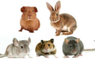 Кто лучше хомяк или кролик