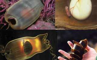 Яйца ската и акулы