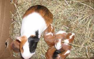 Новорожденные морские свинки фото