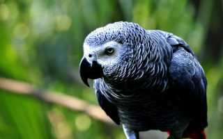 Сколько живут попугаи жако в домашних