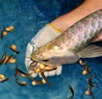 Рыба арована: содержание и уход в аквариуме, совместимость с другими рыбками