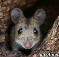 Мышь растительноядное животное