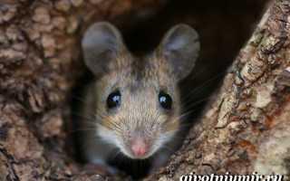 Мышь хищное животное или нет