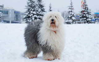 Бобтейл собака фото и описание