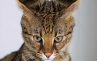 Порода кошки саванна фото
