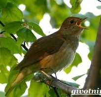 Птица соловей описание