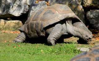 Сколько лет живет слоновая черепаха