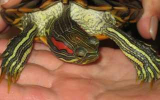 Черепахи: от чего умирают, как понять что она впала в спячку, а не умерла