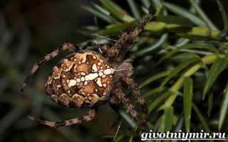 Где зимуют пауки крестовики