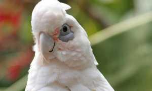 Попугай какаду: где живет, виды, как выглядит, размеры