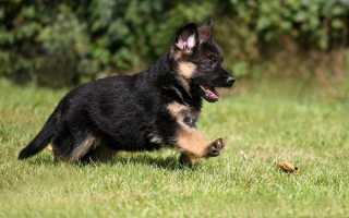 Описание породы собак немецкая овчарка: кормление, уход, содержание, виды окраса, разведение щенков
