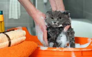 Можно ли купать шотландских котят