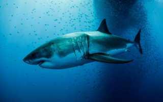 Акулы монстры мегалодон