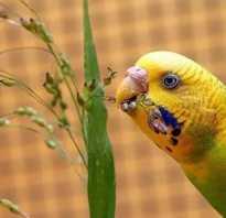 Можно ли волнистым попугаям пшено