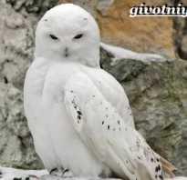 Где обитает белая сова