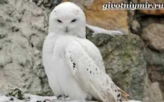Белая сова животное тундры
