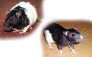 Декоративные крысы: породы и виды, какие бывают разновидности