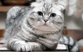 Повадки шотландских вислоухих кошек