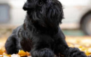 Порода собак бельгийский гриффон фото