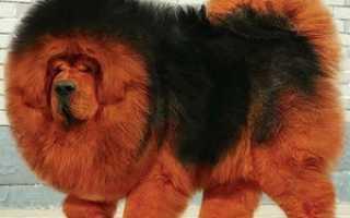 Самый крупный тибетский мастиф