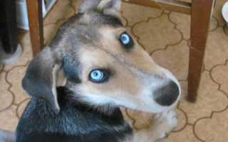 Лайки с голубыми глазами фото