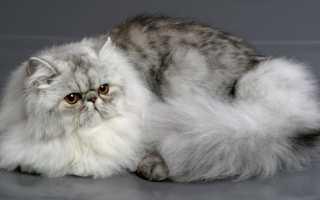 Персидская кошка: описание, 30+ фото, характер и содержание