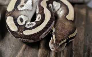 Самая дорогая змея