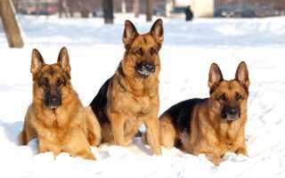 Немецкая овчарка воспитание и дрессировка щенка