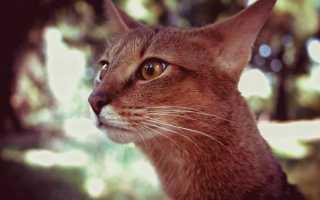 Чаузи кошка описание породы