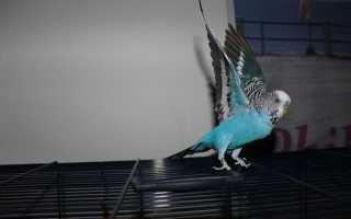 Покупка волнистого попугая адаптация