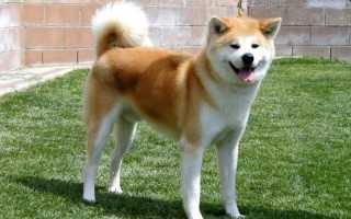 Породы собак из японии