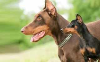 Пинчеры породы собак