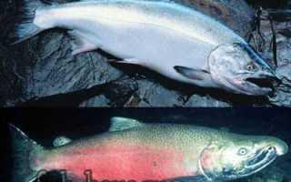 Рыба кижуч фото и описание