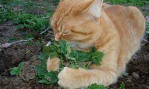 Кошачья мята: описание, полезные свойства и противопоказания