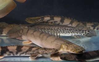 Аквариумная рыбка полиптерус