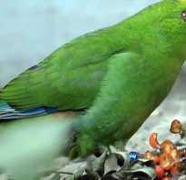 Попугай какарик умеют ли разговаривать