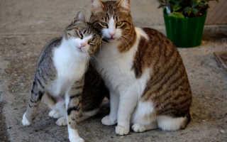 Кто лучше кошка или кот шотландцы