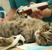 6 видов стерилизации кошек: с какого возраста можно делать, как проходит, чем заменить