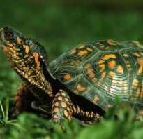 3 вида черепах: сухопутные, водные и мини черепашки