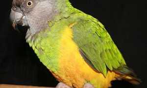 Сенегальский длиннокрылый попугай — подвиды, уход и содержание