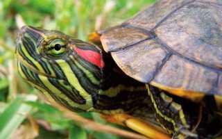 Как ухаживать за красноухой черепахой видео