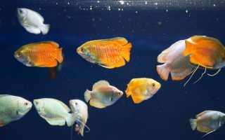 Лялиус: уход и и содержание, совместимость с другими аквариумными рыбами
