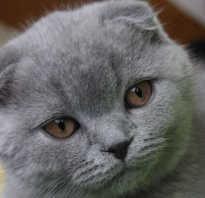 Шотландский котенок лилового окраса