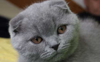 Шотландский вислоухий кот шоколадного окраса фото