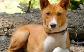 Порода собак которые не умеют лаять