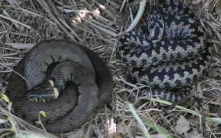 Змея похожая на гадюку