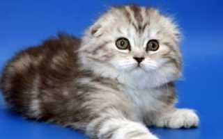 Вислоухая длинношерстная кошка породы